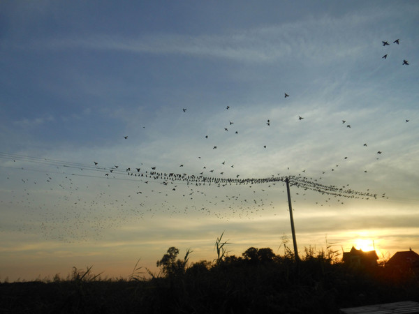 Starlings rgbstock on49LlG